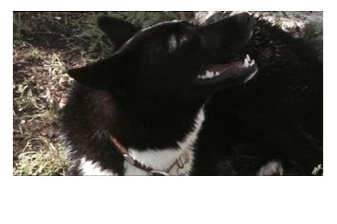 Border collie, Zilker Dog Park rabies scare, Austin TX_7141439372779012880