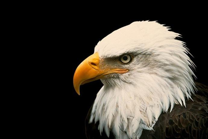 Bald Eagle _-8585272030896370533