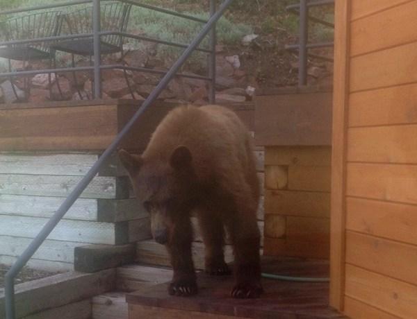 Park City Bear Caught_-4470600868547048699
