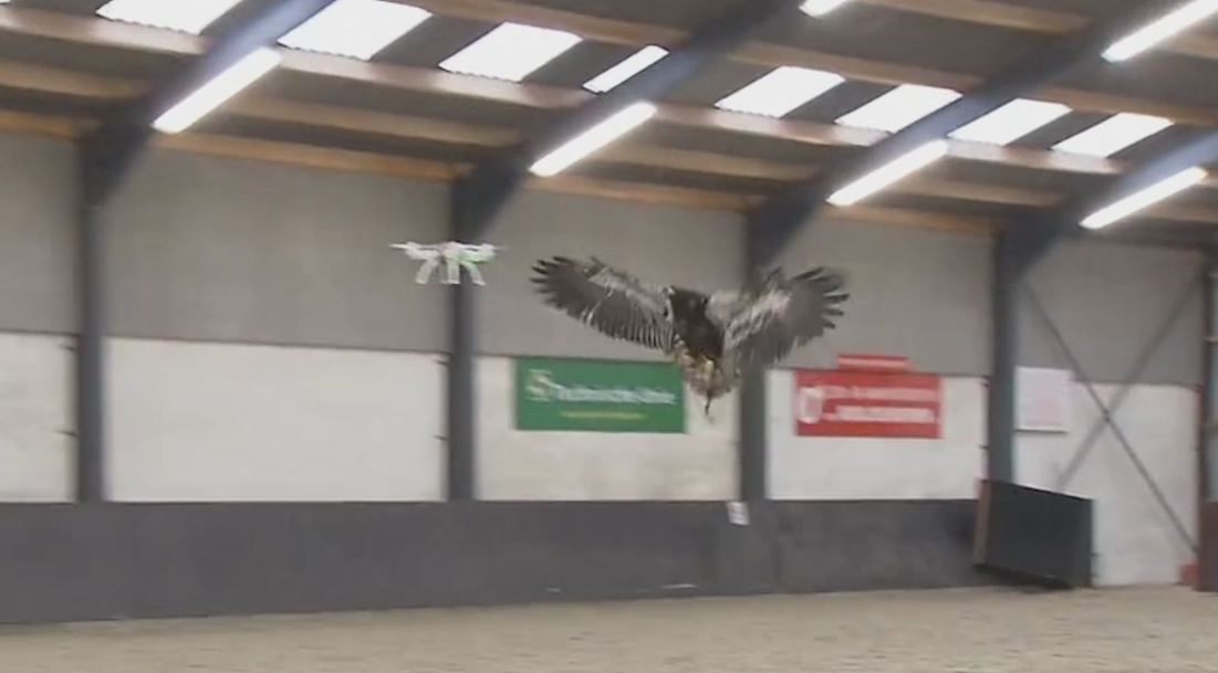 Training Eagles to Take Out Drones