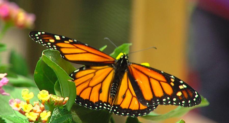 Butterfly Release 2