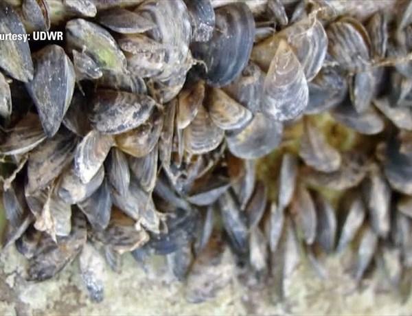 quagga mussels_-1408494722455617319