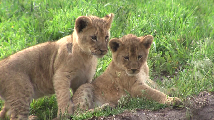 lion_cubs_hogle_zoo.png