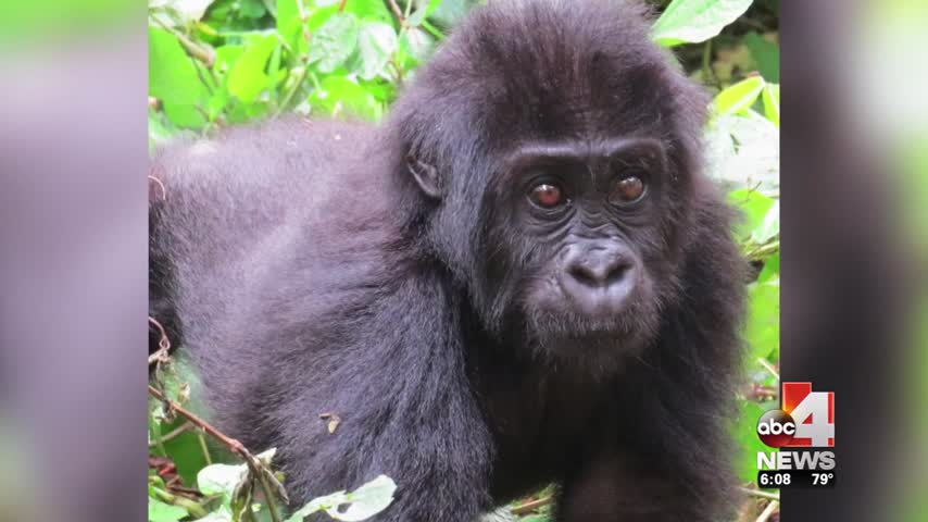 Hogle Zoo Recognized For Efforts in Helping Save Gorillas_77665172-159532