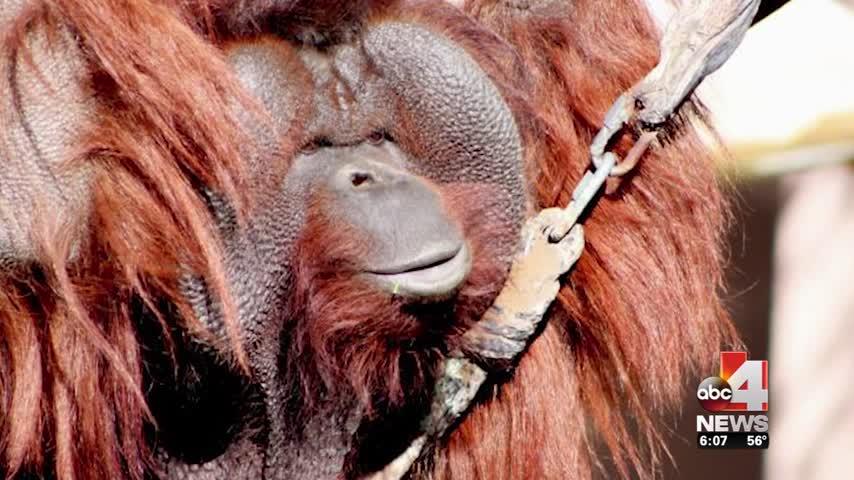 New Adult Orangutan Joins Hogle Zoo Family_46646879-159532