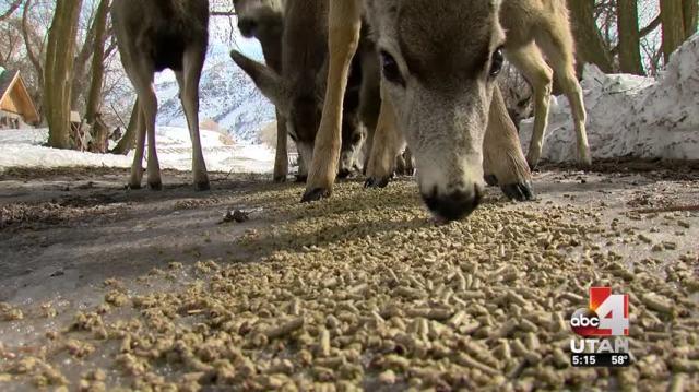 Pleasant Grove outlaws feeding wild deer, elk or moose