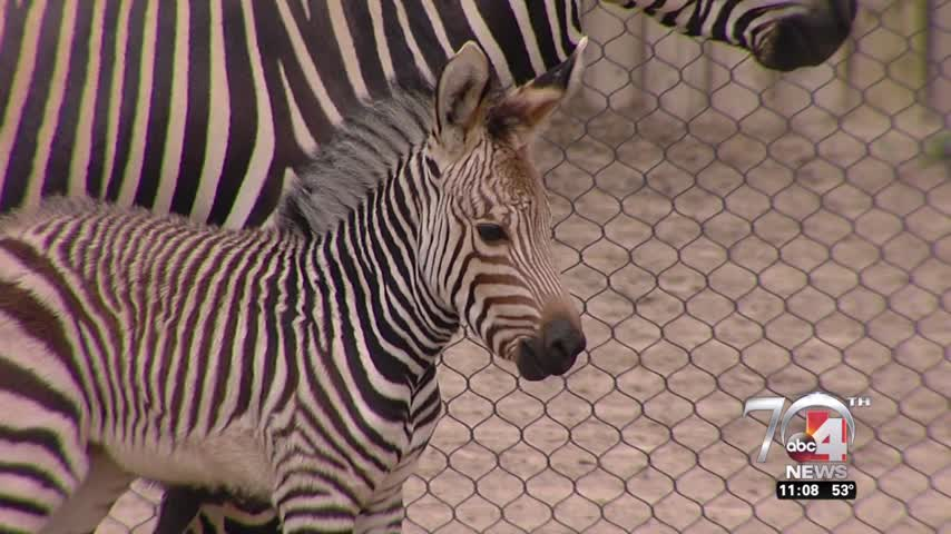 New baby zebra on display at Hogle Zoo