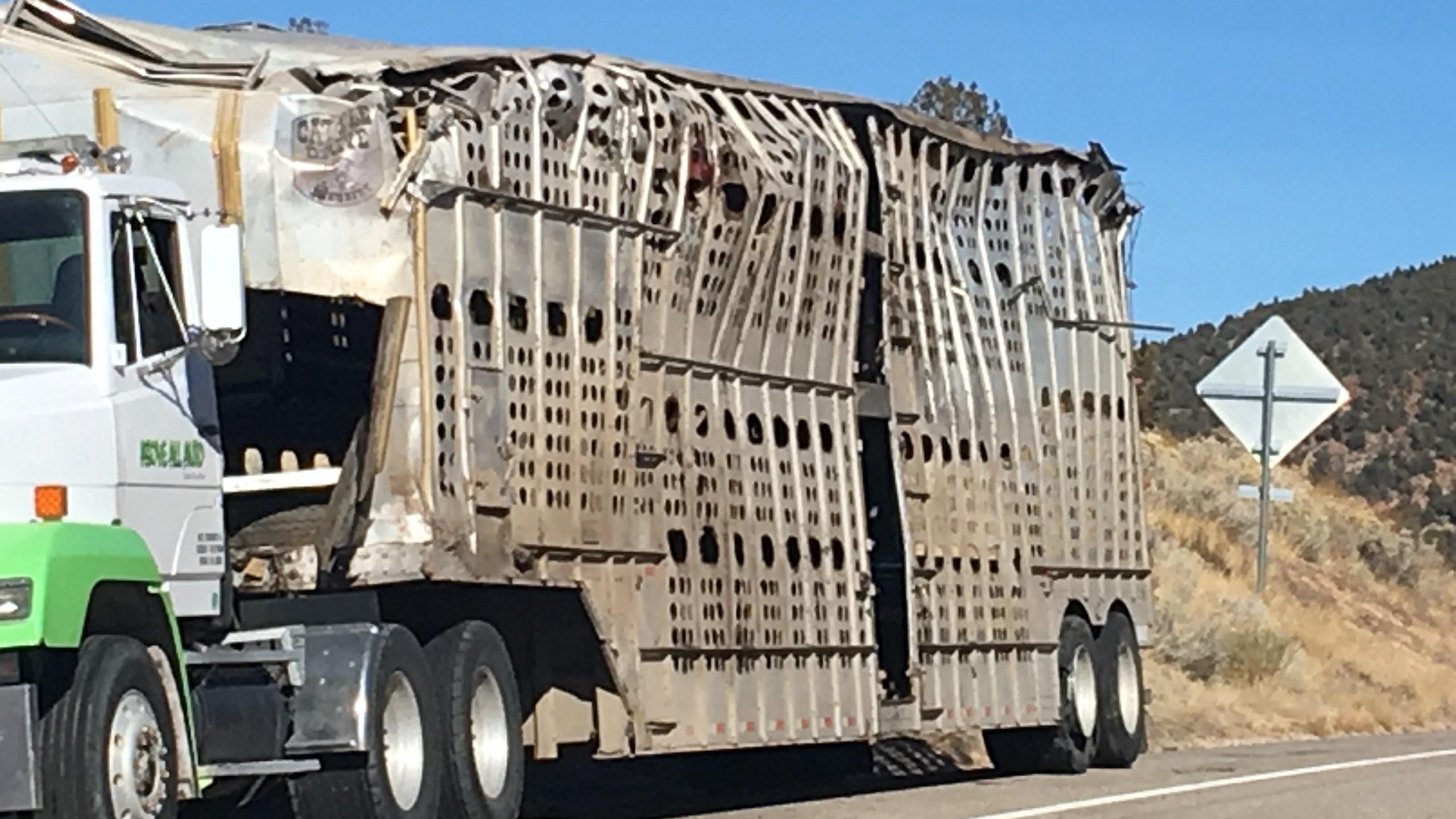 semi cattle crash southern utah