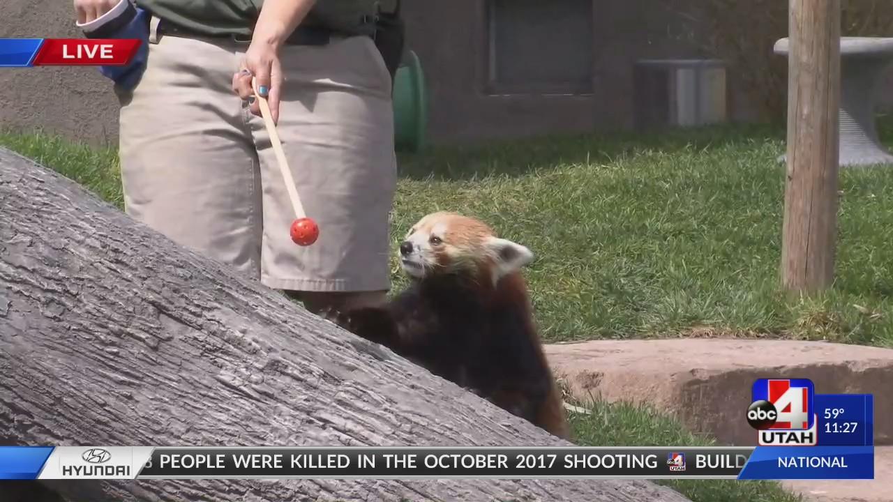 Hogle_Zoo_Red_Pandas_0_20180503175016