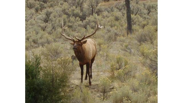 Bull-elk-yellowstone_1528144300890_44454497_ver1.0_640_360_1528215066162.jpg