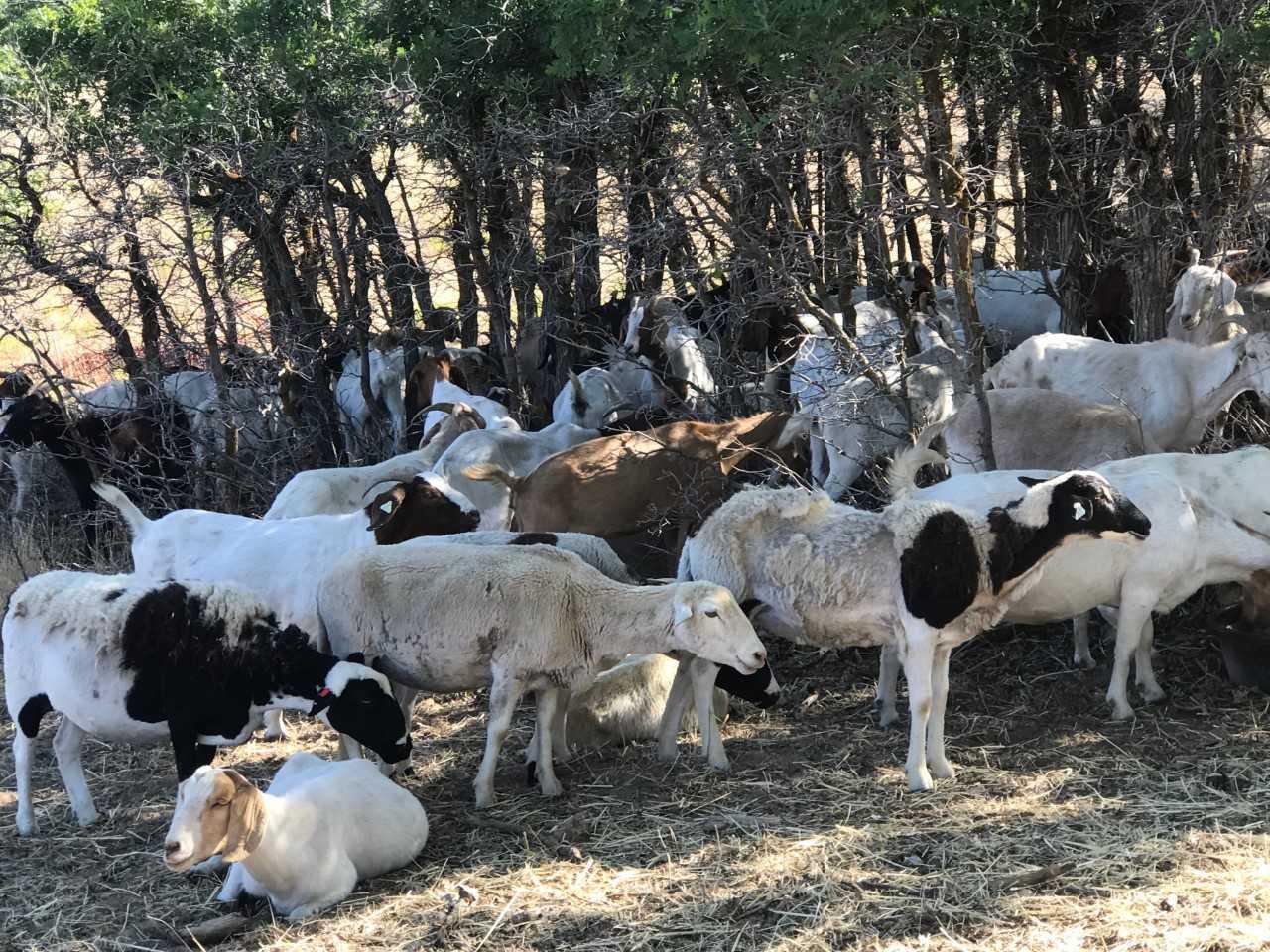 goats_1531513376787.jpg