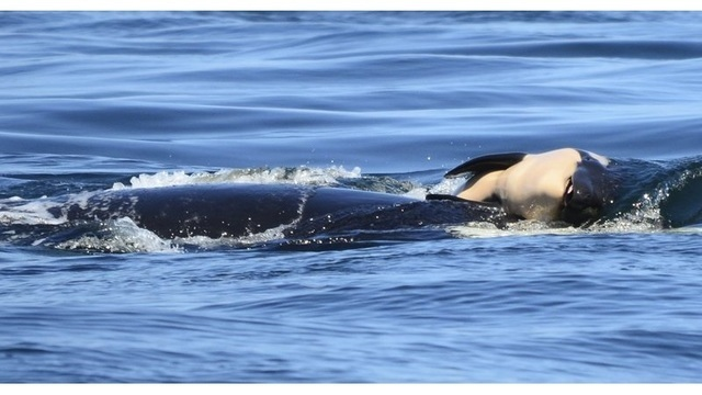 orca dead calf_1532703941785.jpg_49799692_ver1.0_640_360_1532711838755.jpg_49811872_ver1.0_640_360_1532712188328.jpg.jpg