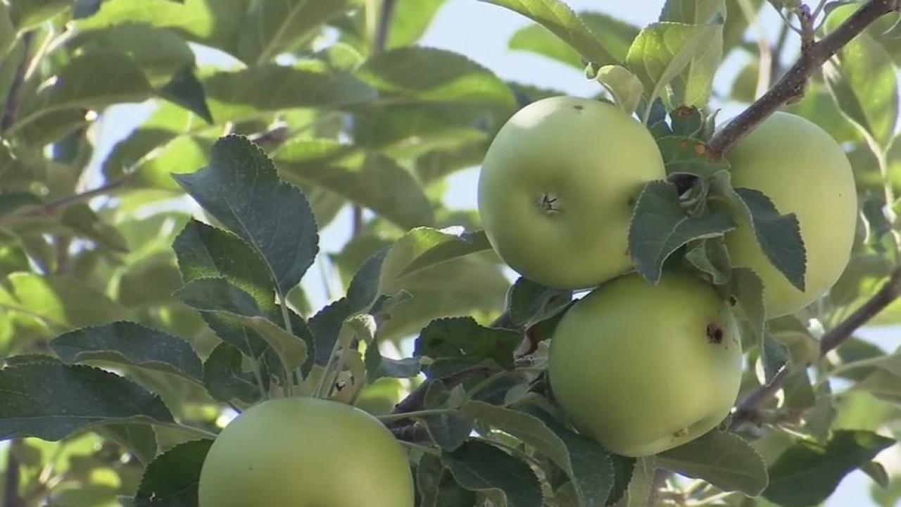 Plentiful_apple_crop_helps_Utahns_in_nee_0_20180830014945