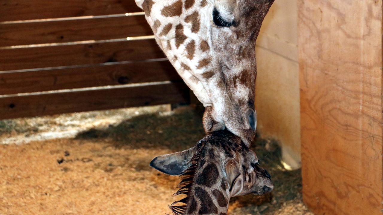 April the giraffe kisses baby-159532.jpg86528419