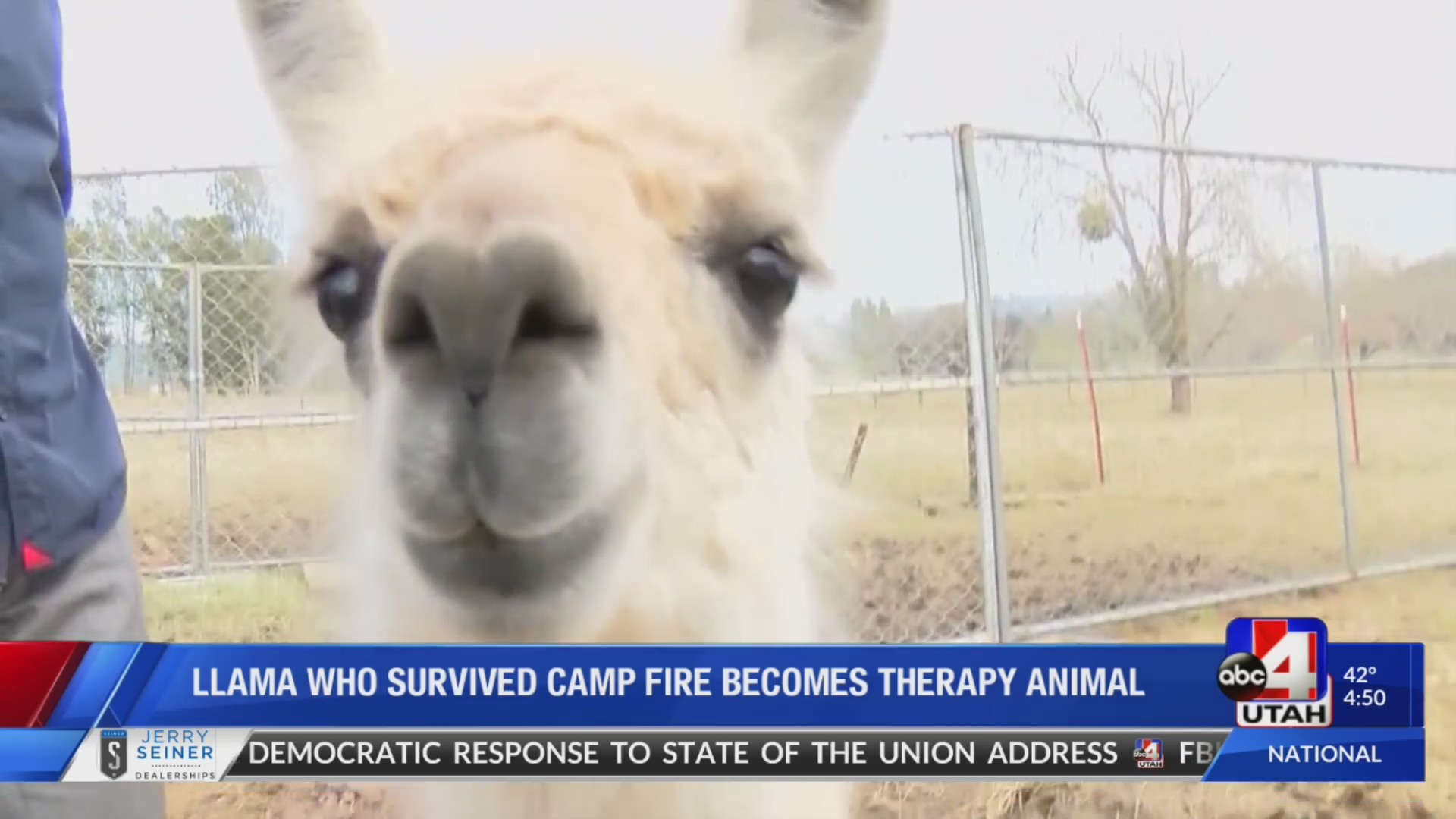 California family turns llama who survived Camp fire into a therapy animal