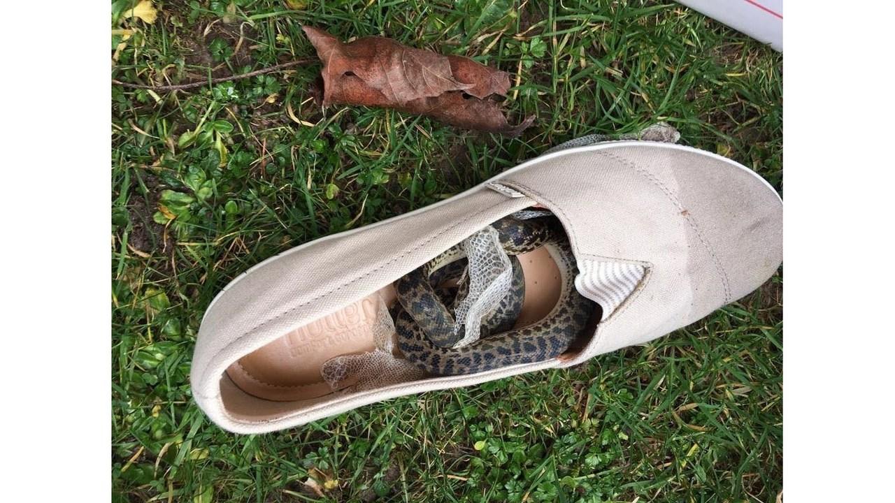 Python shoe_1551112212591.jpg_74788452_ver1.0_1280_720_1551287389929.jpg.jpg