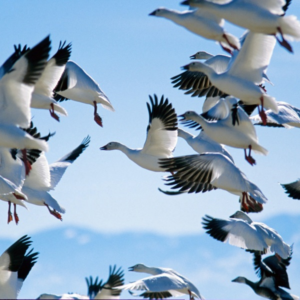 Snow Goose Festival_1549556200216
