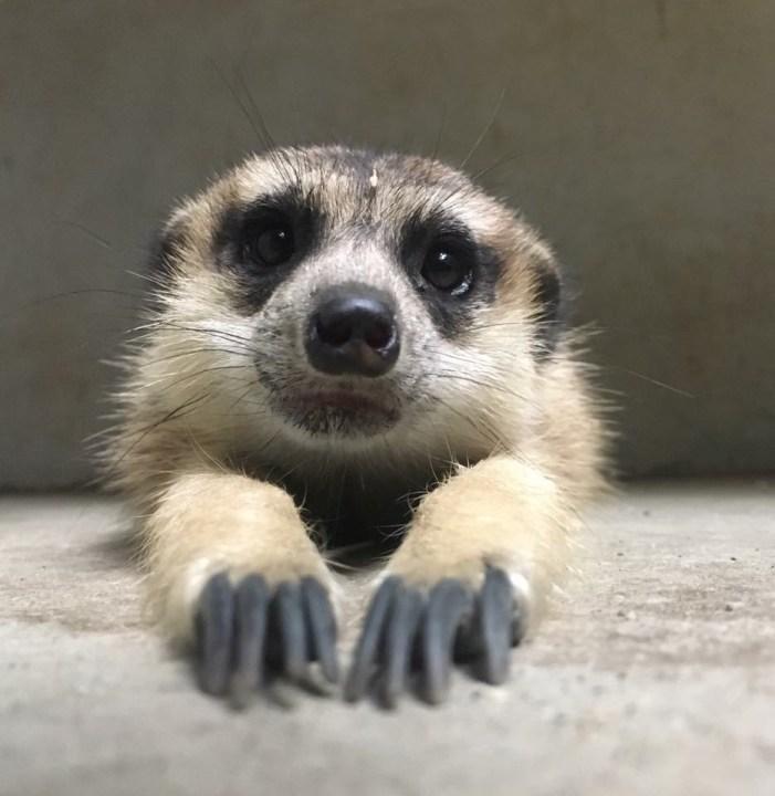 meerkat1-hoglezoo_1559238373060.JPG