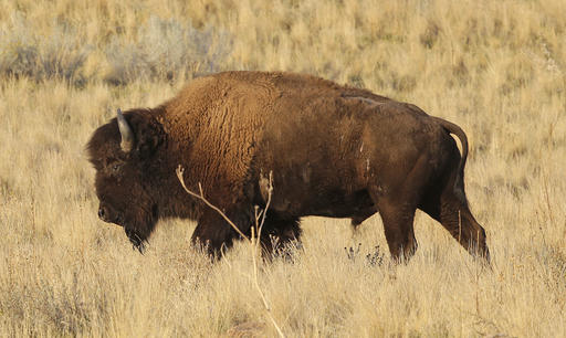 Hiker injured by bison on Antelope Island, officials say