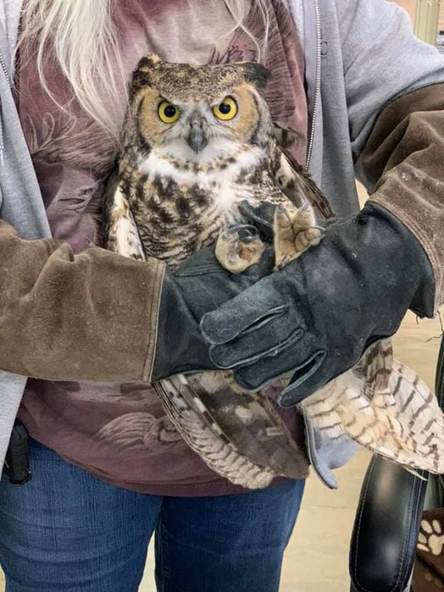 Weber Fire District rescues wounded Great Horned Owl, name it 'Owl Pachino'