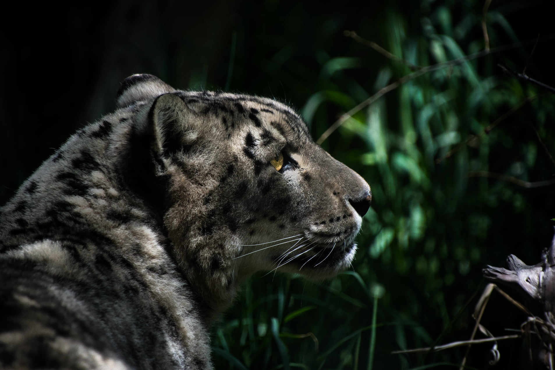 Nema the Snow Leopard