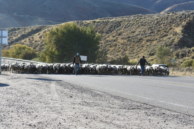 Annual sheep herd stopping traffic and turning heads