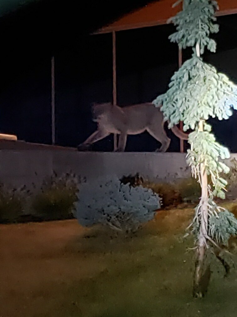 cougar spotted in Cottonwood Heights park
