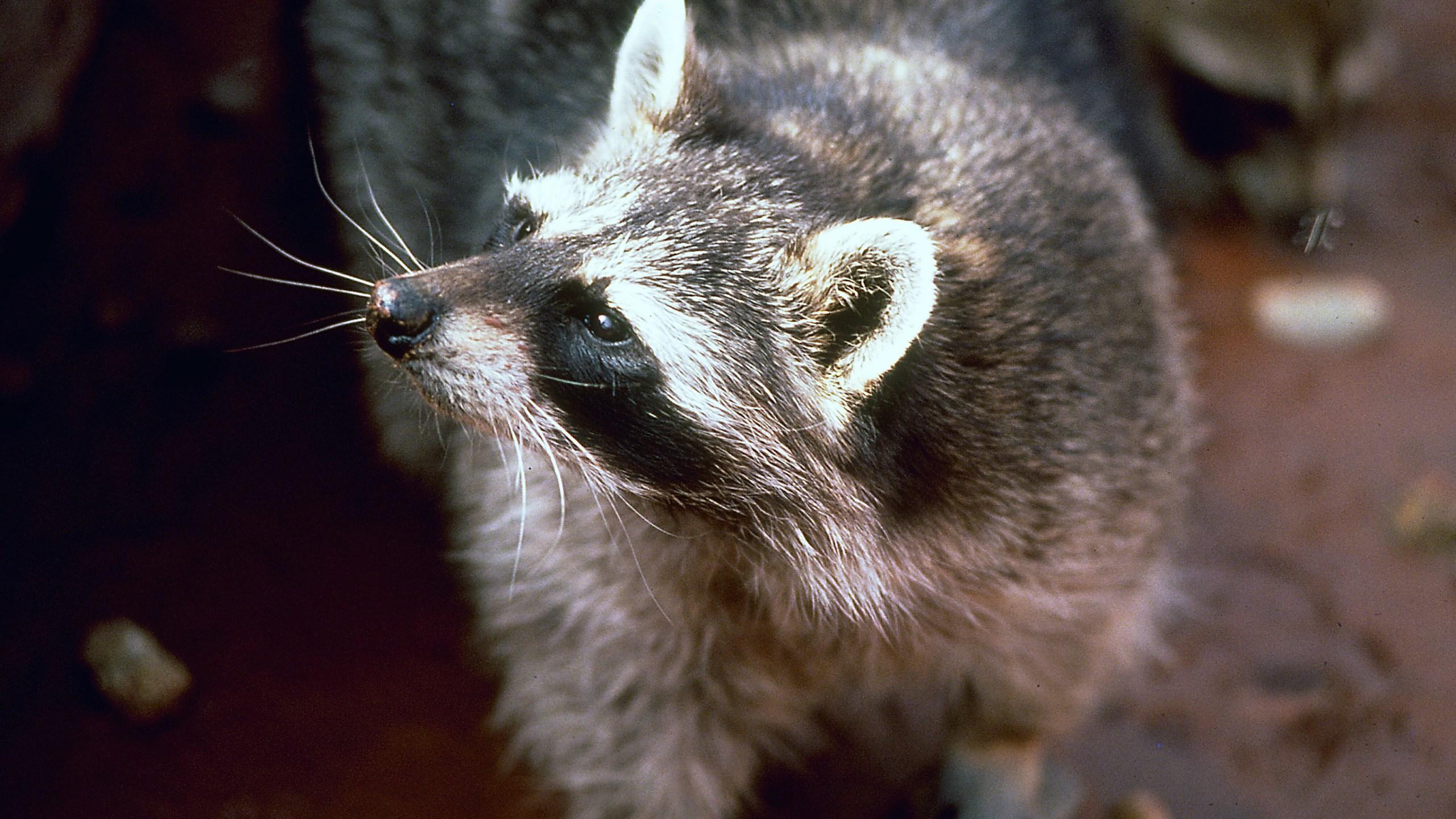 raccoon looking on courtesy of Utah DWR