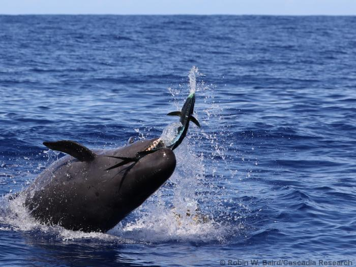 Rare sight: Endangered False Killer Whale photographed catching and eating fish