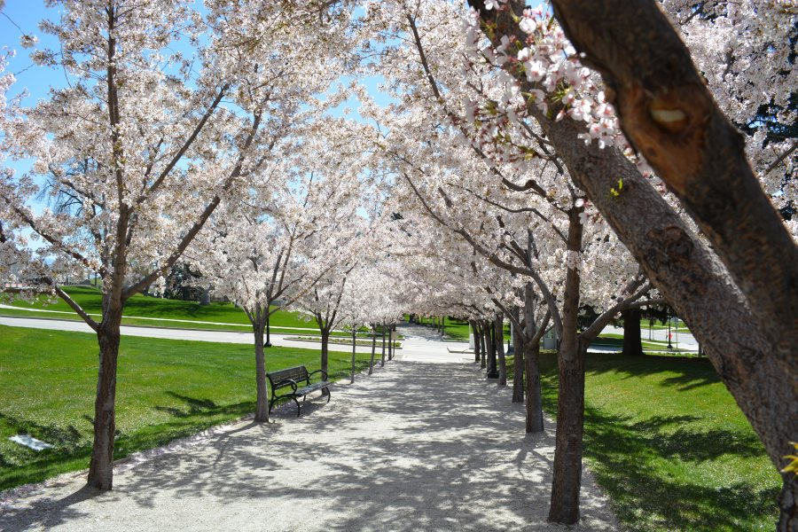 The Odd History Behind The Utah State Capitol S Cherry Blossom Trees Abc4 Utah